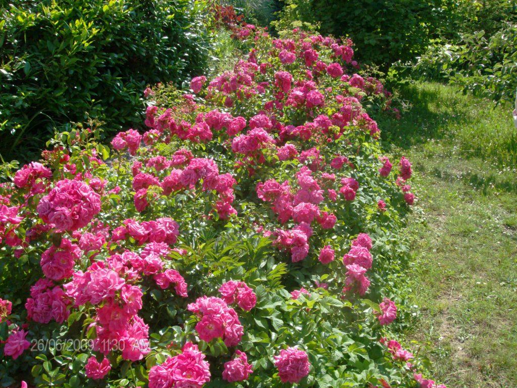 Rosenbeet im Sommer